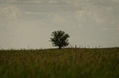 Mazowsze... (stempel*) Tags: tree landscape pentax poland polska lonely polonia drzewo samotne gambezia
