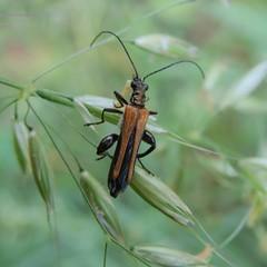 Oedemera femorata male (bKarolyi [HU]) Tags: oedemera femorata oedemeridae álcincér sárgahátú