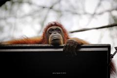 DSC03956 (Dislocations) Tags: sony orangutan ape singaporezoo a7r borderfx