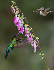 Fiery-throated and Volcano Hummingbirds in Flight (Raymond J Barlow) Tags: travel red flower costarica hummingbird wildlife birdinflight raymondbarlowtours