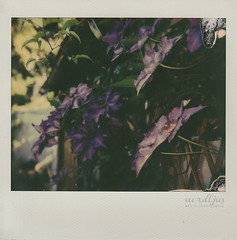 In the garden (nordljusdreams) Tags: flowers garden polaroid clematis instant imagepro imagespectra impossiblefilm