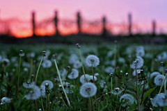 Evening Calm (Pics by Abigail) Tags: pink sunset summer sky orange white nature field canon 50mm evening spring fuzzy low may calm dreaming dandelions wishing makeawish niftyfifty
