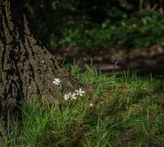 Minimal (Rob Jennings2) Tags: flowers flower anemone wildflowers millpond bracknell millpark woodamemone