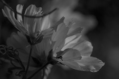 Non of Us Remain Un-Scarred - Cosmos May 2016 (GOR44Photographic@Gmail.com) Tags: bw white black flower macro canon mono petals 100mm cosmos 100mmf28 canon100mm 60d gor44