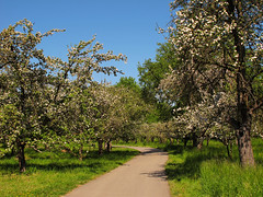 Bicycle trail treelined by blooming apple trees (Batikart) Tags: blue sky white tree green apple nature field grass sunshine canon germany landscape geotagged deutschland spring flora europa europe blossom path natur may feld meadow wiese himmel sunny dandelion trail mai flowering gras agriculture ursula blüte landschaft bäume baum apfel fruittree frühling blooming sander g11 löwenzahn 2016 badenwürttemberg obstbaum frühjahr malus rosaceae beutelsbach pyrinae 100faves 200faves weinstadt agrarwirtschaft batikart kernobstgewächse canonpowershotg11 bühend