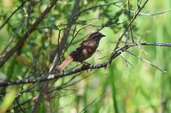 (careth@2012) Tags: nature nikon britishcolumbia wildlife beak feathers nikond3300 d3300