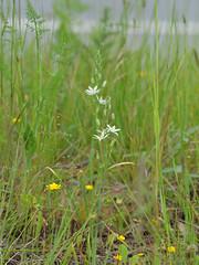 Ornithogalum narbonense (bathyporeia) Tags: portugal asparagaceae ornithogalumnarbonense hanshillewaert