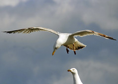Hovering (Gill Stafford) Tags: sea bird image seagull gull photograph hovering gillys gillstafford