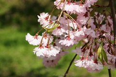 - Cluster of the flower (shig.) Tags: flowers trees plants plant flower tree canon cherry eos blossom outdoor pastel cluster  sakura cherryblossoms  cherrytree 70d