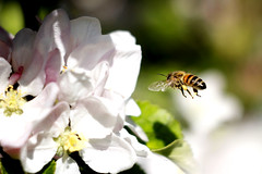 anflug (explored) (bauingenieuse) Tags: pink white flower apple canon garden spring blossom bokeh outdoor maja rosa bee pollen blte garten apfel springtime perspektive appletree apfelbaum biene frhling helios modus 442 flgel 2016 apfelblte weis anflug explored manuell 60d bauingenieuse sammelbiene