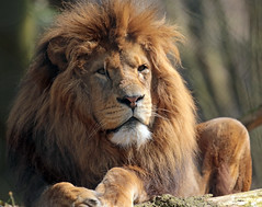 African lion Burgerszoo JN6A6348 (j.a.kok) Tags: lion burgerszoo africanlion afrikaanseleeuw pantheraleoleo leeyw