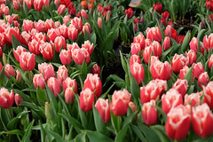 untitled-7.jpg (Sandip's Viewfinder) Tags: flowers newyork photography march spring fujifilm 2016 fujifilmxt10