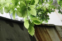 Shanghai, China - Thursday, May 5, 3:16 PM (kyonoshashin) Tags: china leaves spring shanghai