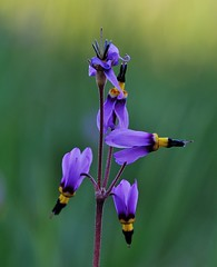 Shooting Star (Cariboo Finn) Tags: wild flower closeup arid grasslands shootingstar
