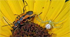 Dangerous liaison, Proffitt, Texas (Small Creatures) Tags: macro texas beetle diffuser crabspider d60 proffitt matingbeetles nikon105mmf25 lensreversing popupflash diymacro youngcounty