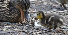 Always Listen to Your Mother (done by deb) Tags: birds closeup ducks ducklings mallard waterfowl