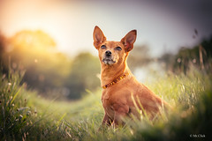 Marita loves Golden Hour , EOS 70D, EF-S 55-250 4-5,6 IS STM (hundephotografie) Tags: pets dogs animals canon golden is bokeh hour stm efs pinscher marita 456 minipin zwergpinscher 55250 canoneos70d
