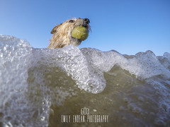 #275 of 365 - sea monster - 160516 (Emily_Endean_Photography) Tags: uk summer dog beach fun surf waves dorset bournemouth each