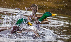 Fighting over a lady (Steve-h) Tags: nature natur natura naturaleza bird birds mallard mallards duck drakes action fight battle fighting battling boys males girl lady female splash splashing splashes drops waterdrops jealousy wild wildfowl waterbirds aquaticbird depthoffield dof colour colours green yellow orange brown white black pond lake park bushypark dublin ireland canon camera lens ef ef00400mm eos eos5dmkii spring march 2016 steveh sports allrightsreserved