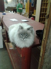 Stormy, The Foundry Cat (ianulimac) Tags: hairy rescue pet cat fur feline kitty stormy mascot puffy plop poof schmooze thefoundry squinty fluffly schmoozle
