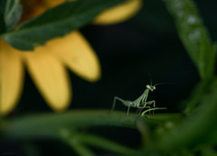 new mantid (167/366) (severalsnakes) Tags: flower macro bug garden mantis insect polaroid pentax led missouri ringflash ks2 ringlight sedalia m1004macro saraspaedy