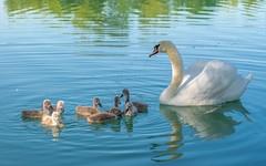 swan's family (19) (Vlado Ferenčić) Tags: birds animals lakes croatia swans animalplanet hrvatska nikkor8020028 nikond600 zaprešić swansfamily zajarki lakezajarki jezerozajarki ladudovi
