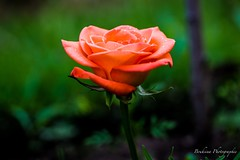 La rose orange (Bouhsina Photography) Tags: orange flower color macro rose canon garden eau bokeh jardin pluie morocco maroc couleur ttouan gouttes gouttelettes ef100mm28 bouhsina 5diii bouhsinaphotography