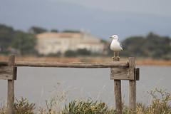 faune (laurent gayte) Tags: mer olympus oiseau em1 goeland 300mmf4 giens almanare laurentgayte