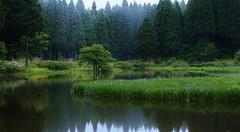 Wild Iris Pond (maco-nonchR) Tags: trees iris water misty fog forest lights pond woods walk wildflowers wildflower irises shiga