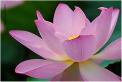 Lotus- 210616_DSF0553j (KK Hui Photography) Tags: plant macro flora lotus lotusflower