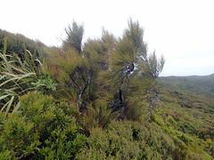 Dracophyllum longifolium var. longifolium (dracophylla) Tags: newzealand ericaceae codfishisland whenauhoa dracophyllumlongifoliumvarlongifolium