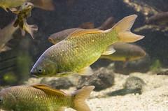 Mritzeum (automatix74) Tags: fish pentax fisch k5 mritz waren da50135 mritzeum