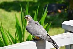 Fly Away Home!! (Reed 1949) Tags: falcon raptor birdofprey fence grass flowersnikon nikond5200 tamron18270mm zoo seattle woodlandpark washingtonstate