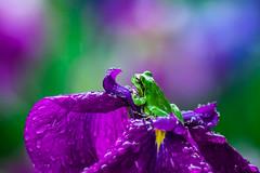 (mk*) Tags: frog