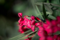ILCE-3000-20160621-05045 // Konica Hexanon AR 57mm 1:1.2 (Otattemita) Tags: 57mmf12 florafauna hexanon konica konicahexanonar57mmf12middleversion fauna flora flower nature plant wildlife konicahexanonar57mm112 sony sonyilce3000 ilce3000 57mm cnaturalbnatural ota