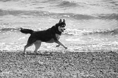 Photo of Husky dog frolicking on the beach