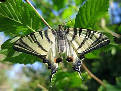 Iphiclides podalirius (Ex-larva) (Lepsibu) Tags: papilionidae