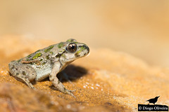 Sapinho-de-verrugas-verdes (Diogo Oliveira Photography | onWILD) Tags: amphibiaanfíbios macro photography portugal fauna biodiversidade therocky41 therocky41photos nature naturephotography wildlife wildlifephotography chordata pelodytes punctatus pelodytespunctatus common parsley frog commonparsleyfrog parsleyfrog sapinhodeverrugasverdes sapinho verrugas verdes bbc national geographic nationalgeographic nat geo natgeo wonders europe wildwondersofeurope planet animalplanet onwild