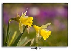 mini-dandelion (Barryjones_2003 Also on ipernity.) Tags: flower spring flora flowersarebeautiful