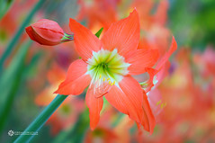 Hippeastrum Vittatum Hybrid (Firdausi Nuzula) Tags: flower aka outdoor commercial malaysia amaryllis bunga hybrid kelantan hippeastrum bachok vittatum firdausi nuzula
