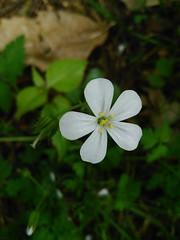 White herb robert (menchuela) Tags: herbrobert geraniumrobertianum whiteflowers floresblancas wildflowers floressilvestres menchuela british flora britishflora