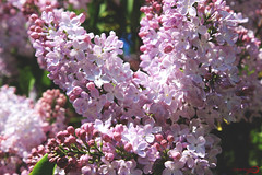 Fragrant lilacs (k.vorobyovax) Tags: life flowers macro tree canon photo spring cool nice russia walk moscow may streetlife lilacs followme  2016         600d  follow4follow like4like