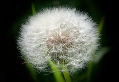 IMG_7922 (kween_beek) Tags: nature wisconsin outdoors weed dandelion wish wildflower wi