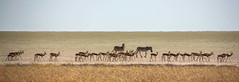 Marching along the Etosha Pan (onurbwa51) Tags: park salt national pan namibia etosha springbok zebras antilopen springbock marchforwater