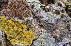2016-05-02 23-27-13 (B,Radius20,Smoothing8)-Edit (Boy of the Forest) Tags: plants plant tree botanical bark vegetation environment lichen plantae botany lichens symbiotic symbiosis symbioticorganism