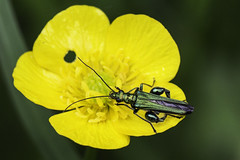 Does He Like Butter? (me'nthedogs) Tags: buttercup beetle somerset levels westhay oilbeetle
