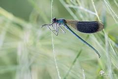 Gouttelette (photosenvrac) Tags: macro nature bokeh printemps insecte libellule caloptryx thierryduchamp