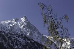 Tiens toi droit ! (stand straight) (Larch) Tags: mountain france tree montagne landscape spring scenery chamonix arbre printemps birchtree bouleau aiguilledumidi hautesavoie