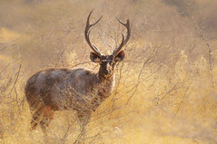 Hazy Deer, Ranthambore Tiger Reserve (Poulomee Basu) Tags: wild portrait india nature beauty wildlife deer wilderness tranquil rajasthan ranthambore wildlifephotographer herbivore sambhar naturephotography naturelovers animalportrait wildlifephotography wildindia indianwildlife sambhardeer indiansafari