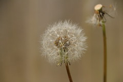 Dandelion (Tony Howsham) Tags: wild plants macro nature up fauna canon garden flora close sigma 18250 eos70d